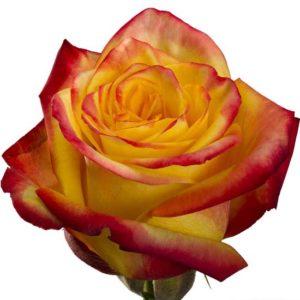 Розы одноголовые (Эквадор)