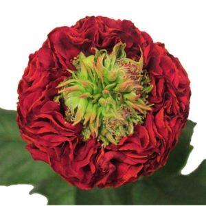 Розы пионовидные (Эквадор)